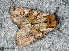 Apamea cf. illyria --   ordine: Lepidoptera  famiglia: Noctuidae  nome scientifico: Apamea cf. illyria  data e località: Corno alle Scale Park, Bologna Province, Emilia Romagna, Italy  commento: