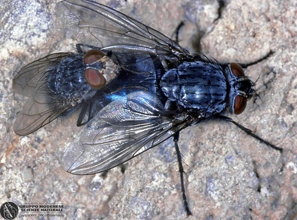 Calliphora vomitoria  --   ordine: Diptera  famiglia: Calliphoridae  nome scientifico: Calliphora vomitoria   data e località: Castel di Aiano, Bologna Province, Emilia Romagna, Italy  commento: