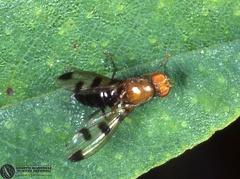 Indet. sp.  --   ordine: Diptera  famiglia: Heleomyzidae  nome scientifico: Indet. sp.   data e località: Bosco della Panfilia Park, Ferrara Province, Emilia Romagna, Italy  commento: