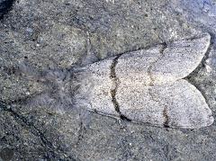 Calliteara pudibunda  --   ordine: Lepidoptera  famiglia: Lymantriidae  nome scientifico: Calliteara pudibunda   data e località: Corno alle Scale Park, Bologna Province, Emilia Romagna, Italy  commento: