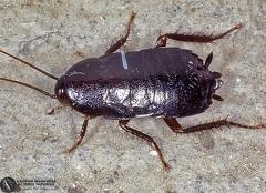 Indet. sp.  --  ordine: Blattariae  famiglia: Blattidae  nome scientifico: Indet. sp.  data e località: Durban, Kwazulu-Natal, South Africa  commento: