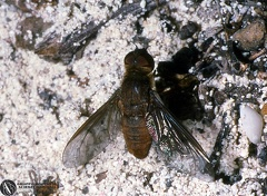 Indet. sp.  --  ordine: Diptera  famiglia: Bombyliidae  nome scientifico: Indet. sp.  data e località: Providenciales, Turks and Caicos Islands  commento: