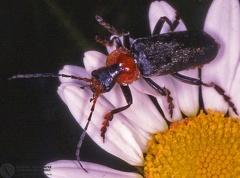 Cantharis fusca  --  ordine: Coleoptera  famiglia: Cantharidae  nome scientifico: Cantharis fusca  data e località: Castel di Aiano, Bologna Province, Emilia Romagna, Italy  commento: