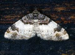 Catarhoe cuculata  --   ordine: Lepidoptera  famiglia: Geometridae  nome scientifico: Catarhoe cuculata   data e località: Corno alle Scale Park, Bologna Province, Emilia Romagna, Italy  commento: