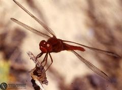 Crocothemis erythraea  --  ordine: Odonata  famiglia: Libellulidae  nome scientifico: Crocothemis erythraea  data e località: Undetermined location, Sardinia, Italy  commento: