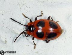 Endomychus coccineus  --  ordine: Coleoptera  famiglia: Endomychidae  nome scientifico: Endomychus coccineus  data e località: Corno alle Scale Park, Bologna Province, Emilia Romagna, Italy  commento: