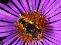 Eristalis arbustorum  --  ordine: Diptera  famiglia: Syrphidae  nome scientifico: Eristalis arbustorum  data e località: Cento, Ferrara Province, Emilia Romagna, Italy  commento: