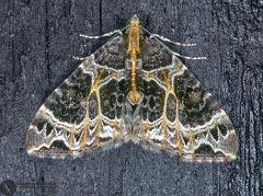 Ecliptoptera silaceata  --  ordine: Lepidoptera  famiglia: Geometridae  nome scientifico: Ecliptoptera silaceata  data e località: Corno alle Scale Park, Bologna Province, Emilia Romagna, Italy  commento:
