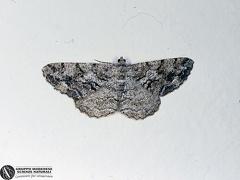 Peribatodes secundaria --   ordine: Lepidoptera  famiglia: Geometridae  nome scientifico: Peribatodes secundaria  data e località: Corno alle Scale Park, Bologna Province, Emilia Romagna, Italy  commento: