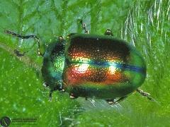 Diochrysa fastuosa  --  ordine: Coleoptera  famiglia: Chrysomelidae  nome scientifico: Diochrysa fastuosa  data e località: Castel di Aiano, Bologna Province, Emilia Romagna, Italy  commento:
