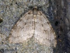 Epirrita christyi --  ordine: Lepidoptera  famiglia: Geometridae  nome scientifico: Epirrita christyi  data e località: Corno alle Scale Park, Bologna Province, Emilia Romagna, Italy  commento: