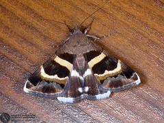 Grammodes stolida  --  ordine: Lepidoptera  famiglia: Noctuidae  nome scientifico: Grammodes stolida  data e località: San Pietro in Casale, Bologna Province, Italy  commento: