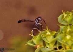 Indet. sp.  --   ordine: Hymenoptera  famiglia: Gasteruptiidae  nome scientifico: Indet. sp.   data e località: Undetermined location, Sardinia, Italy  commento: