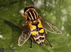 Helophilus hybridus  --   ordine: Diptera  famiglia: Syrphidae  nome scientifico: Helophilus hybridus   data e località: Corno alle Scale Park, Bologna Province, Emilia Romagna, Italy  commento: