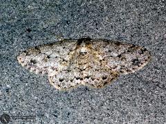 Ectropis crepuscularía  --  ordine: Lepidoptera  famiglia: Geometridae  nome scientifico: Ectropis crepuscularía  data e località: Corno alle Scale Park, Bologna Province, Emilia Romagna, Italy  commento: