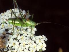Leptotes pirithous  --  ordine: Lepidoptera  famiglia: Lycaenidae  nome scientifico: Leptotes pirithous  data e località: Corno alle Scale Park, Bologna Province, Emilia Romagna, Italy  commento: