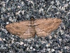 Horisme cf. tersata --  ordine: Lepidoptera  famiglia: Geometridae  nome scientifico: Horisme cf. tersata  data e località: Castel di Aiano, Bologna Province, Emilia Romagna, Italy  commento: