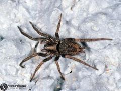 Agroeca sp.  --  ordine: Araneae  famiglia: Liocranidae  nome scientifico: Agroeca sp.  data e località: Lercara Friddi, Palermo Province, Sicily, Italy  commento: