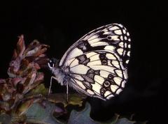 Melanargia galathea  --  ordine: Lepidoptera  famiglia: Satyridae  nome scientifico: Melanargia galathea  data e località: Castel di Aiano, Bologna Province, Emilia Romagna, Italy  commento:
