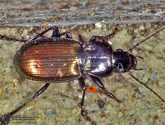 Oreophilus bicolor  --   ordine: Coleoptera  famiglia: Carabidae  nome scientifico: Oreophilus bicolor   data e località: Corno alle Scale Park, Bologna Province, Emilia Romagna, Italy  commento: