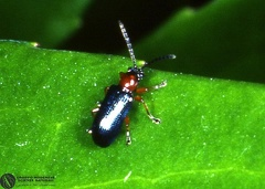 Oulema melanopus  --  ordine: Coleoptera  famiglia: Chrysomelidae  nome scientifico: Oulema melanopus  data e località: Corvara in Alta Badia, Bolzano Province, Italy  commento: