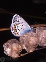 Plebejus argus  --  ordine: Lepidoptera  famiglia: Lycaenidae  nome scientifico: Plebejus argus  data e località: Castel di Aiano, Bologna Province, Emilia Romagna, Italy  commento: