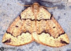 Puengeleria capreolaria  --   ordine: Lepidoptera  famiglia: Geometridae  nome scientifico: Puengeleria capreolaria   data e località: Corno alle Scale Park, Bologna Province, Emilia Romagna, Italy  commento: