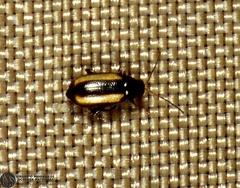 Phyllotreta nemorum  --  ordine: Coleoptera  famiglia: Chrysomelidae  nome scientifico: Phyllotreta nemorum  data e località: Simpetru, Southern Transylvania, Romania  commento: