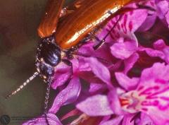 Indet. sp.  --  ordine: Coleoptera  famiglia: Alleculidae  nome scientifico: Indet. sp.  data e località: Corno alle Scale Park, Bologna Province, Emilia Romagna, Italy  commento: