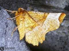 Selenia lunularia  --   ordine: Lepidoptera  famiglia: Geometridae  nome scientifico: Selenia lunularia   data e località: Corno alle Scale Park, Bologna Province, Emilia Romagna, Italy  commento:
