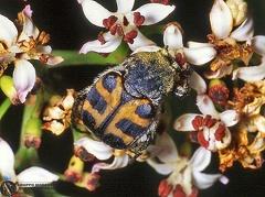 Trichius abdominalis  --  ordine: Coleoptera  famiglia: Scarabaeidae  nome scientifico: Trichius abdominalis  data e località: Castel di Aiano, Bologna Province, Emilia Romagna, Italy  commento: