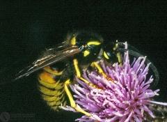 Vespa rufa  --  ordine: Hymenoptera  famiglia: Vespidae  nome scientifico: Vespa rufa  data e località: Corno alle Scale Park, Bologna Province, Emilia Romagna, Italy  commento: