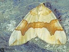 Cidaria fulvata --  ordine: Lepidoptera  famiglia: Geometridae  nome scientifico: Cidaria fulvata  data e località: Corno alle Scale Park, Bologna Province, Emilia Romagna, Italy  commento: