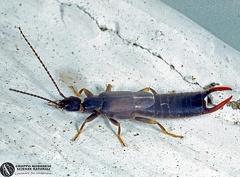 Indet.sp. --   ordine: Dermaptera  famiglia: Indet.  nome scientifico: Indet.sp.  data e località: St.Lucia Wetland,Kwazulu-Natal,South Africa  commento: