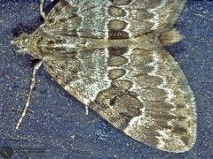 Thera cf. variata --   ordine: Lepidoptera  famiglia: Geometridae  nome scientifico: Thera cf. variata  data e località: Castel di Aiano, Bologna Province, Emilia Romagna, Italy  commento: