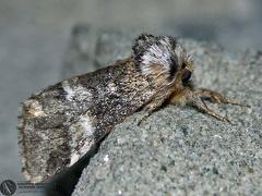 Drymonia dodonea --  ordine: Lepidoptera  famiglia: Notodontidae  nome scientifico: Drymonia dodonea  data e località: Corno alle Scale Park, Bologna Province, Emilia Romagna, Italy  commento: