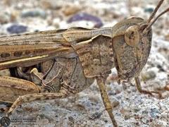 Glyptobothrus brunneus brunneus --  ordine: Orthoptera  famiglia: Acrididae  nome scientifico: Glyptobothrus brunneus brunneus  data e località: San Pietro in Casale, Bologna Province, Emilia Romagna, Italy  commento: