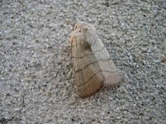 Charanica trigrammica