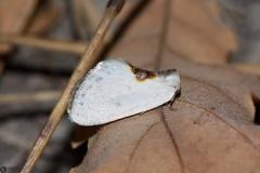 Cilix hispanica