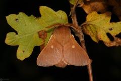 Eriogaster rimicola male4