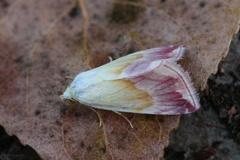 Eublemma purpurina4