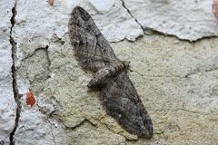Eupithecia ericeata cf