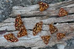 Hyphoraia testudinaria5