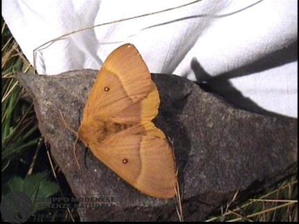 Lasiocampa quercus (2)
