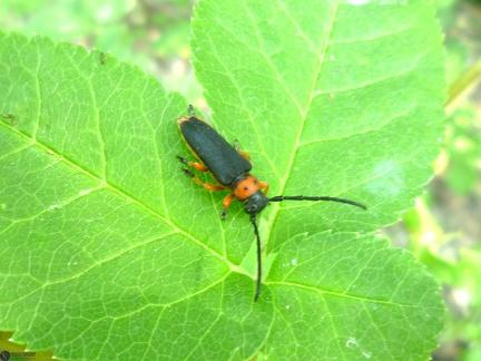 Musaria affinis affinis (Harrer, 1784) --   ORDINE: Coleoptera  FAMIGLIA: Cerambycidae  NOME SCIENTIFICO: Musaria affinis affinis (Harrer, 1784)  DATA E LOCALITÁ: 2.VII.2012 Bulgaria Burgas Malko Tarnovo, 200m 42°08'N 27°25'E  COMMENTO:
