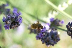 Hymenoptera Bombylidae --  ORDINE: Hymenoptera  FAMIGLIA: Bombylidae  NOME SCIENTIFICO: Hymenoptera Bombylidae  DATA E LOCALITÁ: VII.2012 ITALY Piemonte (CN) Castiglione Tinella 44°45'N 8°10'E, 250-300m  COMMENTO: