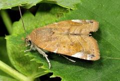 Cosmia affinis --   ORDINE: LEPIDOPTERA  FAMIGLIA: NOCTUIDAE  NOME SCIENTIFICO: Cosmia affinis  DATA E LOCALITÁ: 19/07/2014 , Cerredolo , Toano - RE  COMMENTO: