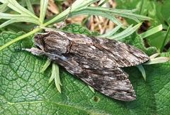 Agrius convolvuli --  ORDINE: LEPIDOPTERA  FAMIGLIA: SPHINGIDAE  NOME SCIENTIFICO: Agrius convolvuli  DATA E LOCALITÁ: 30/08/2011 , Monte Faverghera , BL  COMMENTO: