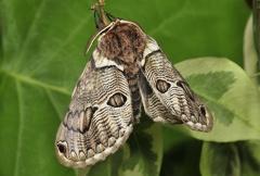 Brahmaea aeuropea --  ORDINE: LEPIDOPTERA  FAMIGLIA: BRAHMAEIDAE  NOME SCIENTIFICO: Brahmaea aeuropea  DATA E LOCALITÁ: 22/04/2015 ,  allevato da larva. Sassuolo, MO  COMMENTO: