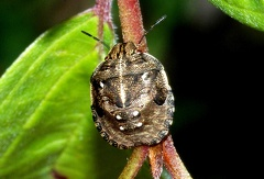 Dryoderes umbraculatus --   ORDINE: HEMIPTERA - HETEROPTERA - Cimici, ecc.  FAMIGLIA: PENTATOMIDAE  NOME SCIENTIFICO: Dryoderes umbraculatus  DATA E LOCALITÁ: 07/07/2010, Cisana, Toano, Re  COMMENTO:
